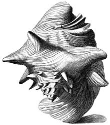 Antique illustration of large sea snail shell with flaring lip, as viewed more or less from the apex