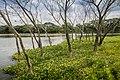 Stunning Mangrove.jpg