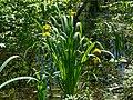 Sumpf-Schwertlilie (Iris pseudacorus) im Weingartener Moor - 170521 (34786253576).jpg