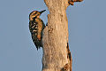 Sunda Pygmy Woodpecker.jpg