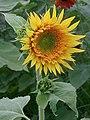 Sunflower (286705839).jpg