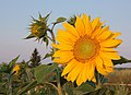 Sunflower 2009 07 25 4436.jpg