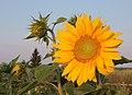 Sunflower 2009 07 25 4436.jpg