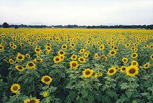 Phatthana Nikhom District - Sunflower fields, Phatthana Nikhom