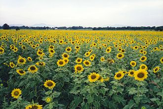 Phatthana Nikhom District - Sunflower fields, Phatthana Nikhom