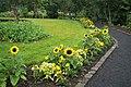 Sunflowers at Reykjavík botanical garden.jpg