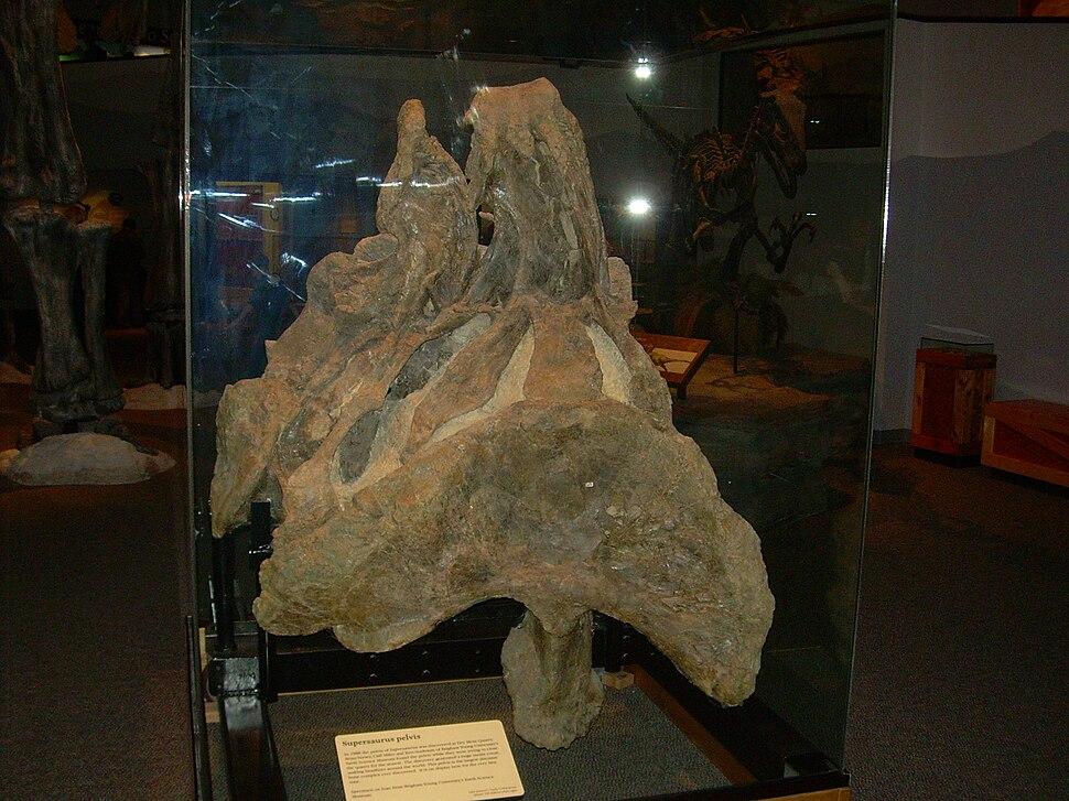 Supersaurus vivianae pelvis