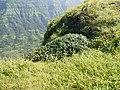 Supushpa scrobiculata (Dalzell ex C.B.Clarke) Suryan. (21241632614).jpg