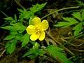 Swamp buttercup at Warren Dunes (2504578898).jpg