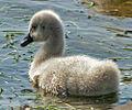 Swanling (6165497443).jpg