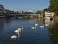 Swans on the Thames in Windsor. Berkshire, UK.jpg
