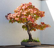 Sweet Gum bonsai 273, October 10, 2008.jpg