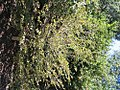 Symploccus paniculata 1zz.jpg