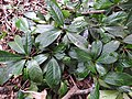 Syzygium arnottianum-1-chemungi-kerala-India.jpg
