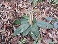 Syzygium bourdillonii-2-chemungi-kerala-India.jpg
