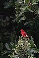 Tángara Roja, Summer Tanager, Piranga rubra (11915250874).jpg