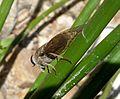 Tabanidae - Flickr - gailhampshire (6).jpg