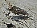 Tabanus autumnalis (Tabanidae) (Large marsh horsefly) - (male imago), Elst (Gld), the Netherlands.jpg