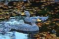 Tachyeres pteneres (Fuegian Steamer Duck - Magellan-Dampfschiffente) - Weltvogelpark Walsrode 2012-15.jpg