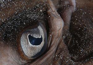 Pupil - Image: Taeniura grabata eye