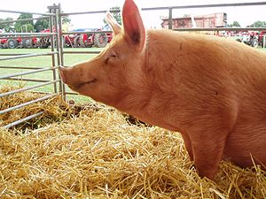 Tamworth Pig at an Agricultural show, Corley, Warwickshire.jpg