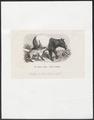 Tapirus indicus - 1700-1880 - Print - Iconographia Zoologica - Special Collections University of Amsterdam - UBA01 IZ22000285.tif