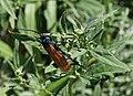 Tarantula hawk wasp (7804132992).jpg
