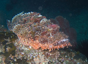 alt=Description de l'image Tassled scorpionfish.jpg.