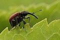 Tatianaerhynchites.aequatus2.-.lindsey.jpg