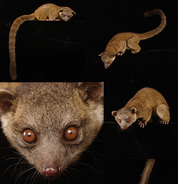 File:Taxonomic-revision-of-the-olingos-(Bassaricyon)-with-description-of-a-new-species-the-Olinguito-ZooKeys-324-001-g022.jpg