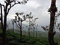 Tea garden ooty nilgiris, india.jpg