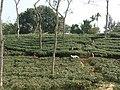 Tea gardens Srimangal Sreemangal Upazila Moulvibazar Maulvibazar Moulavibazar Sylhet 09.jpg