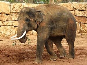 Teddy Kollek - Teddy the elephant at the Jerusalem Biblical Zoo, named in honor of Kollek.