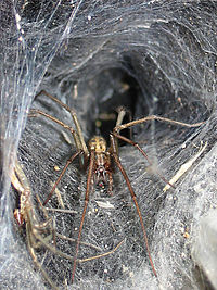 8c7edafab The web of a funnel-web spider Tegenaria duellica