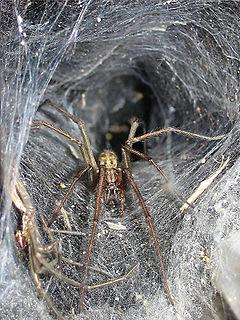 Agelenoidea
