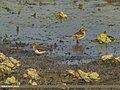 Temminck's Stint (Calidris temminckii) & Citrine Wagtail (Motacilla citreola) (32936426572).jpg