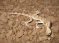 Tenuidactylus caspius.png