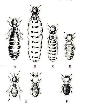Polyphenism - Image: Termites polymorphism