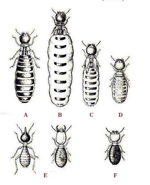 Datei:Termites polymorphism.jpg