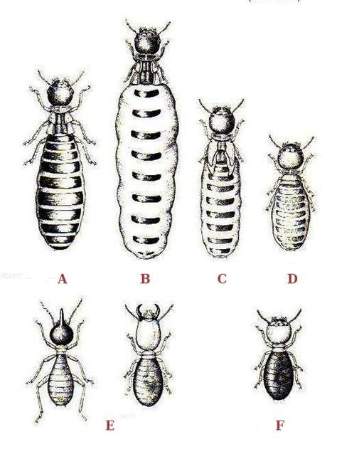 Termites polymorphism
