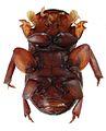 Termitotrox cupido paratype, ventral view - ZooKeys-254-089-g001-3.jpeg
