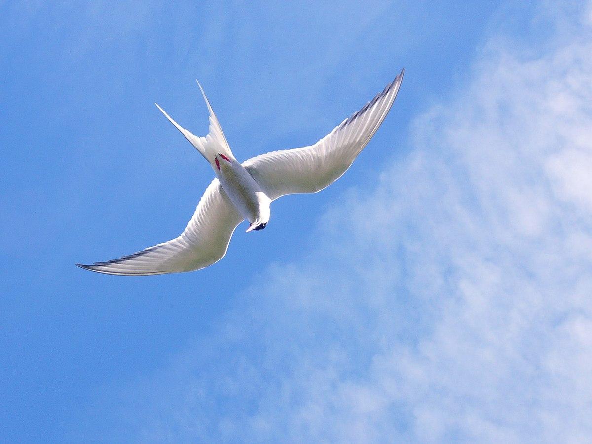 Flight simple english wikipedia the free encyclopedia - Jeux d oiseau qui vole ...