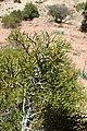 Tetraclinis articulata kz07 Morocco.jpg