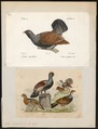 Tetrao urogallus - 1700-1880 - Print - Iconographia Zoologica - Special Collections University of Amsterdam - UBA01 IZ17100321.tif
