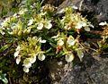 Teucrium montanum 220707a.jpg