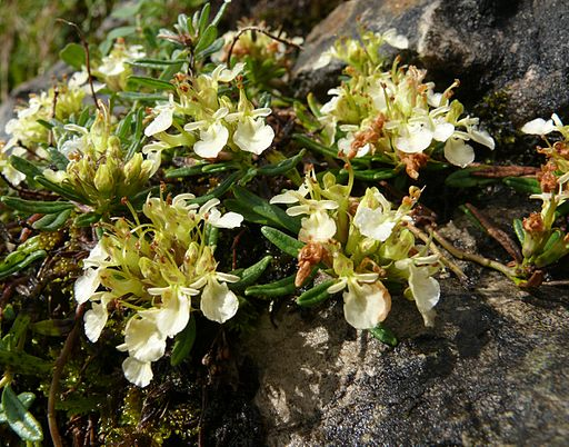 Teucrium montanum 220707a