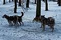 Texel - Dunningsweg - Enthusiastic Sled dogs.jpg