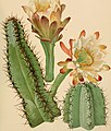 The Cactaceae - descriptions and illustrations of plants of the cactus family (1919) (14596417399).jpg