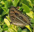 The Common Castor (Ariadne merione) - Noida.jpg