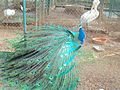 The Elegant National Bird of India 05.jpg